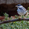 Blackpoll Warbler - Ft. Jefferson, Dry Tortugas, FL