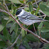 Blackpoll Warbler - Ft. Jefferson, Dry Tortugas