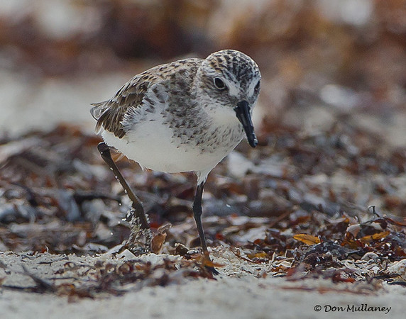 Semipalmated Sandpiper - Ft. Jefferson, Dry Tortugas, FL