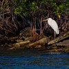Look close!........This is a Great White Heron, not a Great Egret.