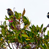Bobolinks in a tree - Ft. Jefferson, Dry Tortugas