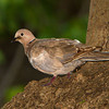 Eurasian Collared-Dove  - Ft. Jefferson, Dry Tortugas, FL