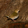 An Ovenbird Calling - Ft.Jefferson, Dry tortugas, FL