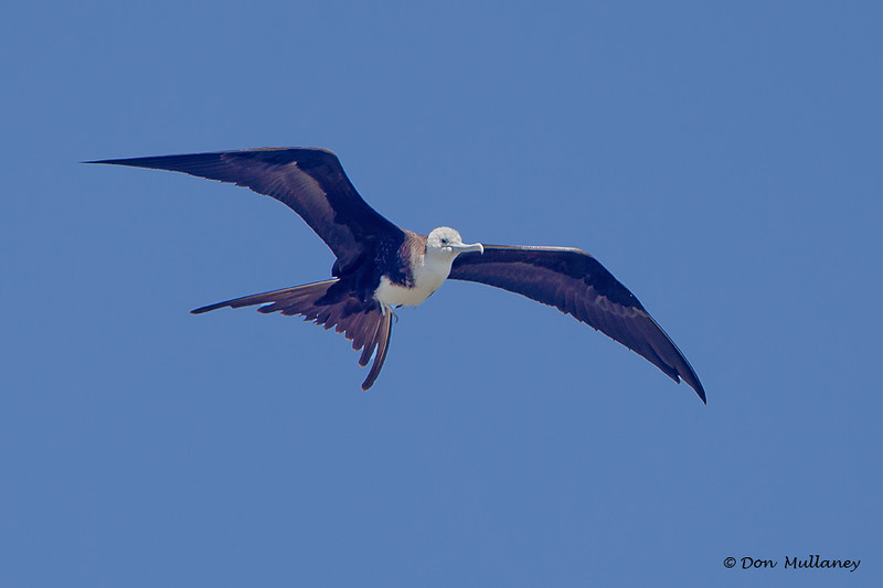 A juvenile Magnificent Frigatebird - Ft. Jefferson, Dry Tortugas