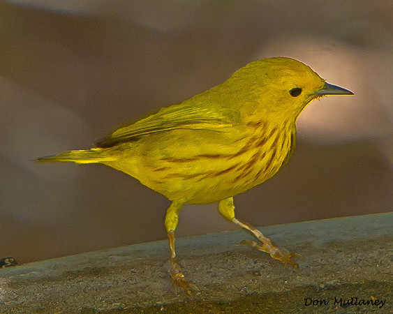 Yellow Warbler -  Ft. Zachary Taylor State Park, Key West, FL.