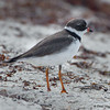 Semipalmated Plover - Ft. Jefferson, Dry Tortugas