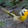 Leucistic Hooded Warbler - Ft. Jefferson, Dry Tortugas, FL<br /> Leucism, or leukism, is an abnormal plumage condition caused by a genetic mutation that prevents pigment, particularly melanin, from being properly deposited on a bird's feathers.