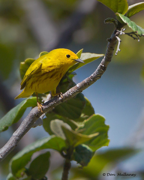 Yellow Warbler - Ft. Jefferson, Dry Tortugas