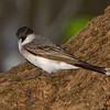 Eastern Kingbird - Ft. Jefferson, Dry Tortugas, FL
