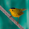 A male Wilson's Warbler - Ft. Jefferson, Dry Tortugas, FL