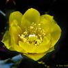 A pretty cactus flower. - Ft. Jefferson, Dry Tortugas