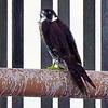 A Peregrine Falcon resting on a buoy.