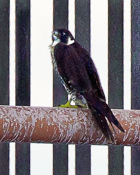 A Peregrine Falcon resting on a buoy.