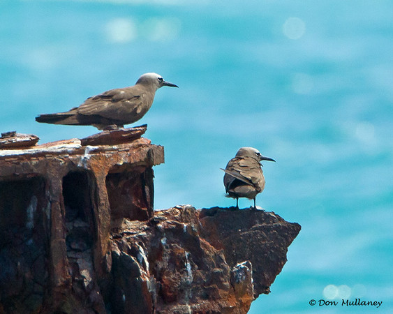 A pair of Brown Noddies - Ft. Jefferson, Dry Tortugas