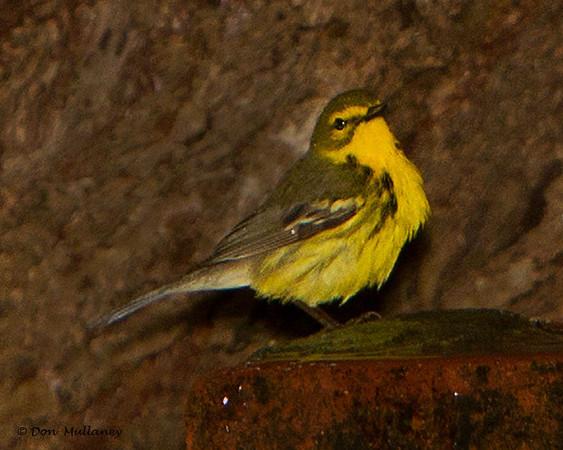 Prairie Warbler  - Ft. Jefferson, Dry Tortugas, FL