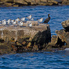 A group of Royal terns with a Cormorant friend.