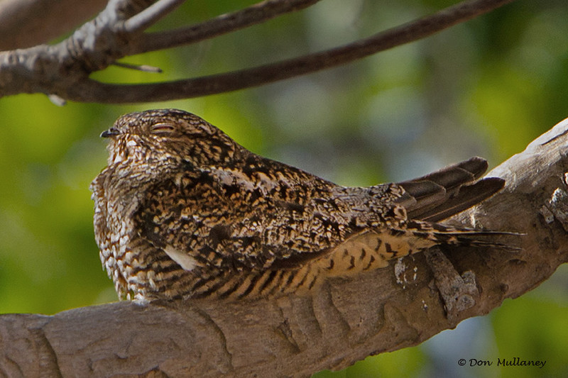 This was a special find, the Antillean Nighthawk. The more buffy tones separate it from the Common Nighthawk as well as the call, which we didn't hear.<br />  - Ft. Jefferson, Dry Tortugas, FL