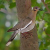 White-winged Dove - Ft. Jefferson, Dry Tortugas, FL