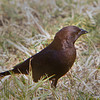 Brown-headed Cowbird - Ft. Jefferson, Dry Tortugas, FL