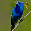 Indigo Bunting calling - Lake Hope State Park, Ohio