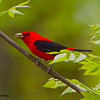 A Scarlet Tanager with an insect -  Zaleski State Forest, Ohio
