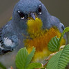 Northern Parula portrait - Zaleski State Forest, Ohio