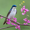 Tree Swallow on a Redbud branch - Zaleski State Forest, Ohio