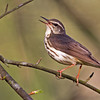 Louisiana Waterthrush - Lake Hope State Park, Ohio