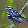 A pretty Black and White Warbler - Zaleski State Forest, Ohio