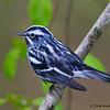 A pretty Black and White Warbler - Zaleski State Forest, Ohio
