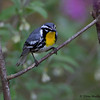 Yellow-throated Warbler - Lake Hope State Park, Ohio