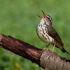 Louisiana Waterthrush sing his heart out - Lake Hope State Park, Ohio