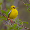 Blue-winged Warbler - Zaleski State Forest, Ohio