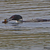A rare visitor to this area, a Common Loon -  Lake Hope State Park, Ohio