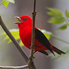 A Scarlet Tanager calling - Zaleski State Forest, Ohio