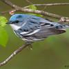 Cerulean Warbler - Zaleski State Forest, Ohio