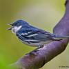 Cerulean Warbler calling - Zaleski State Forest, Ohio