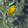 A beautiful Blue-winged Warbler - Zaleski State Forest, Ohio