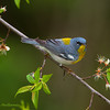 Northern Parula in a pretty setting - Zaleski State Forest, Ohio