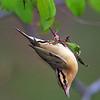 Worm-eating Warbler - Zaleski State Forest, Ohio