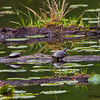 A bog scene with a pair of turtles sunning- Zaleski State Forest, Ohio