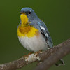 Northern Parula - Zaleski State Forest, Ohio