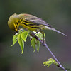 Prairie Warbler feeding -  Lake Hope State Park, Ohio