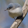 Blue-gray Gnatcatcher in very nice condition - Lake Hope State Park, Ohio