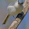 Blue-gray Gnatcatcher - Lake Hope State Park, Ohio