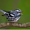A Black and White Warbler calling - Zaleski State Forest, Ohio