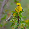 Blue-winged Warbler looking for a meal - Zaleski State Forest, Ohio