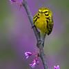 Male Prairie Warbler -  Lake Hope State Park, Ohio