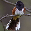 Eastern Towhee with tail fanned - Zaleski State Forest, Ohio