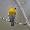 Prothonotary Warbler - Zaleski State Forest, Ohio